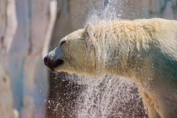 Bear shaking by Tambako The Jaguar