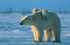 polar bear(1)